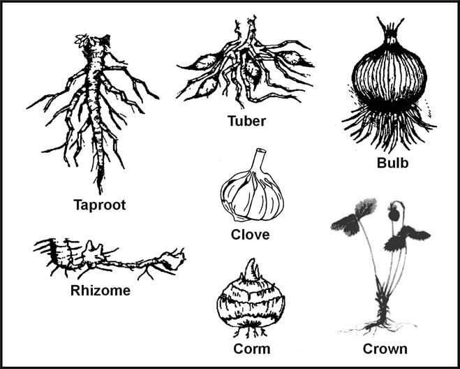 foliar and root anatomy of evergreen